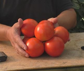 Из каких семян нельзя выращивать томаты? Проверенные советы.