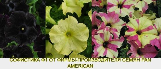 Какие семена петунии дадут супер результат? (3)