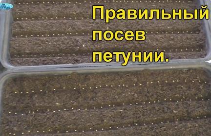 Когда и как правильно посеять петунию? Все тонкости. (7)