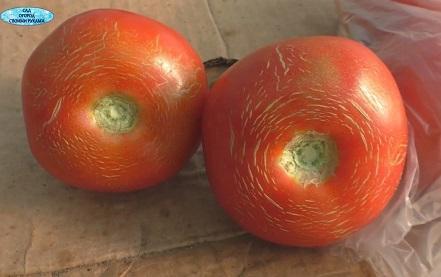 сетчатость на плодах томатов
