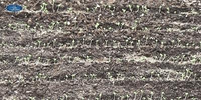 Сделайте это срочно с рассадой петунии!(9)