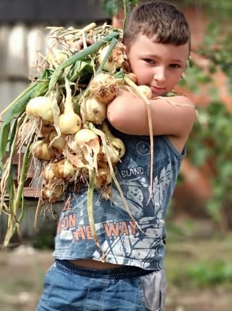 лук выращивание