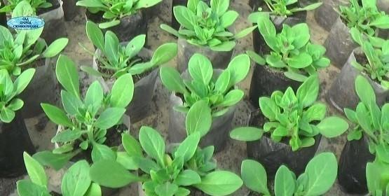 Как выращивать петунию в стаканах?. (12)