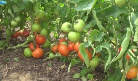 посев томатов на рассаду