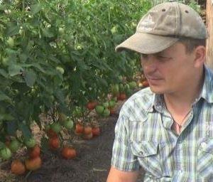 как вырастить томаты дома