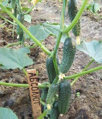 выращивание томатов и огурцов в теплице