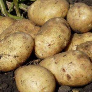 чем и как подкормить картофель