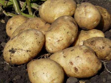 Чем и как подкормить картофель?