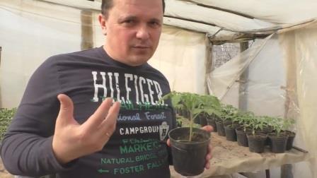 Чем обработать рассаду томатов от вредителей и болезней.