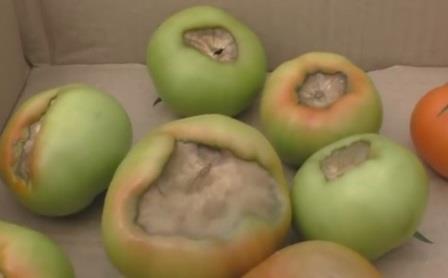 Забудьте про вершинную гниль или почему на наших томатах никогда нет этой болезни.