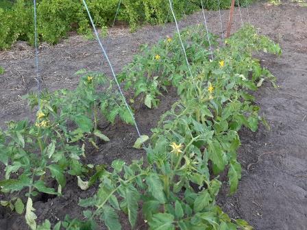 Как защитить томаты от фитофторы.