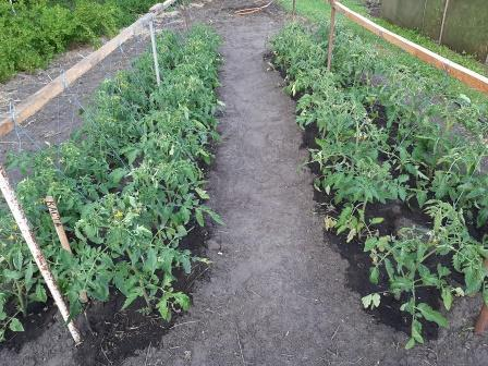 как защитить томаты от фитофторы