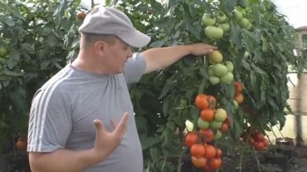 Как добиться равномерно крупных плодов на высокорослых помидорах
