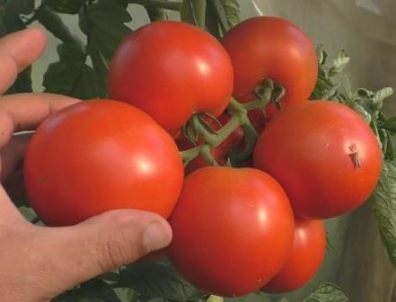 Как подкормить томаты гуматом калия.