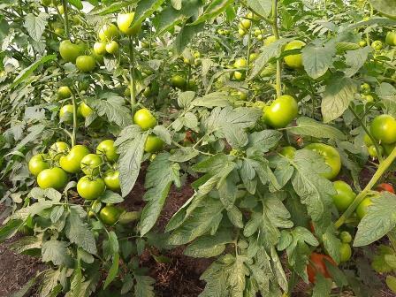 как подкормить томаты гуматом калия