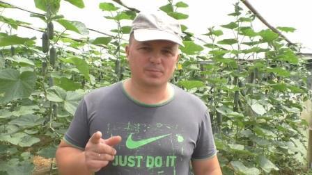 Как формировать огурцы, чтобы получить супер-урожай