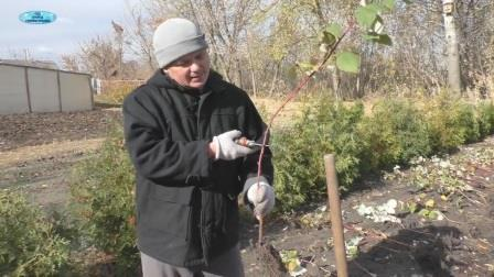 Простой и надежный способ посадки малины осенью.