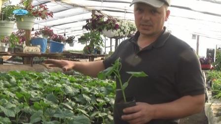 Подготовка и высадка рассады огурцов в грунт